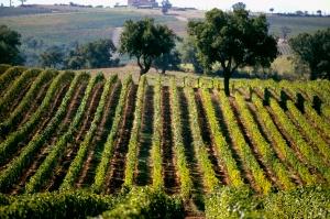 Maremma vineyard